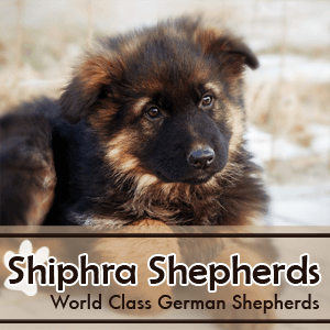 German Shepherd Dog Canada