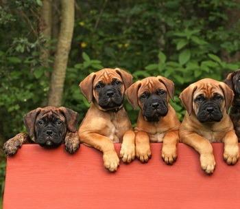 Bullmastiff puppies CanaDogs