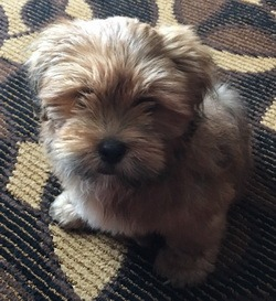 Lhasa Apso CanaDogs