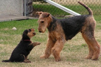 Airedale Terrier Canada