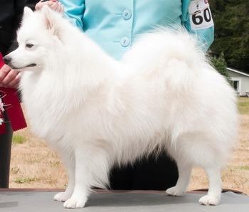 Miniature American Eskimo Dog Adult Canada