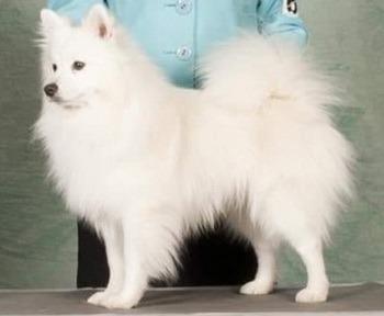 Miniature American Eskimo Dog Canada