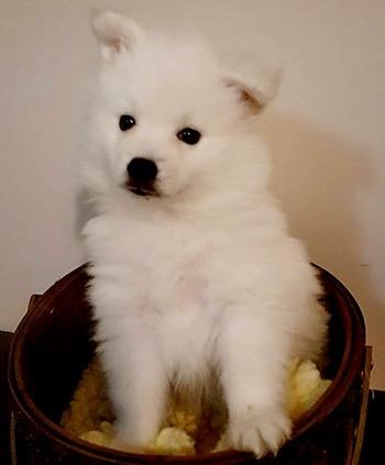 Miniature American Eskimo Dog puppy Canada