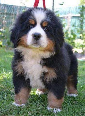 Bernese Mountain Dog puppy Canada