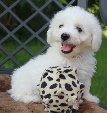 Bichon Frise puppy Canada