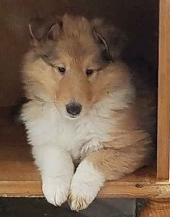 Rough Collie puppy Canada