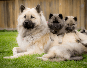 Eurasier pup Canada