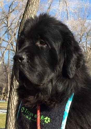 Newfoundland Dog Adult Canada
