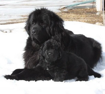 Newfoundland Dog and puppy Canada