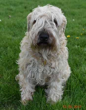 Soft Coated Wheaten Terrier Adult Canada