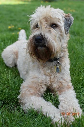 Soft Coated Wheaten Terrier Canada