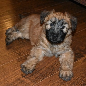 Soft Coated Wheaten Terrier puppy Canada