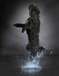 Portuguese Water Dog CanaDogs
