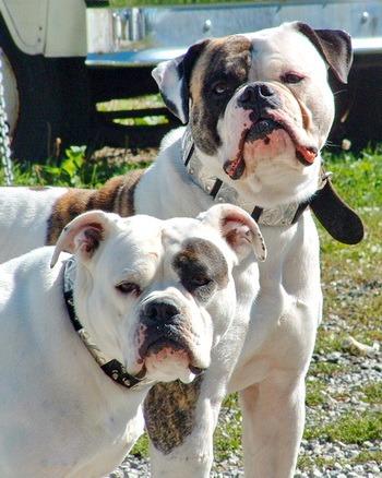 American Bulldog Adult Canada