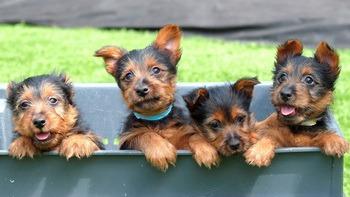 Australian Terrier puppies CanaDogs